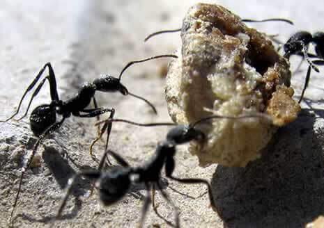 如何驱除蚂蚁