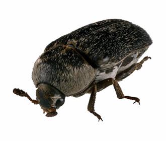 常见织物蛀虫种类