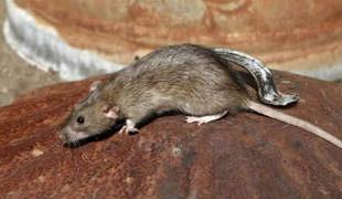 老鼠的迹象